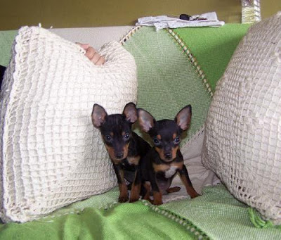 Cachorro Pinscher