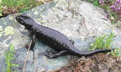 gestação mais longa - salamandras