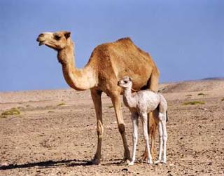 gestação mais longa - camelos
