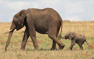 gestação mais longa - elefantes