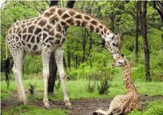 gestação mais longa - girafas
