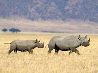 gestação mais longa - rinoceronte