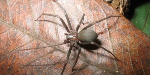 Picada de aranha marrom