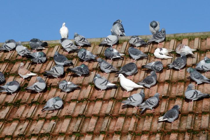 Como espantar os pombos